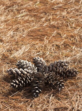 cone shaped: Pine cone shaped in a sun, on a needle stack. Stock Photo