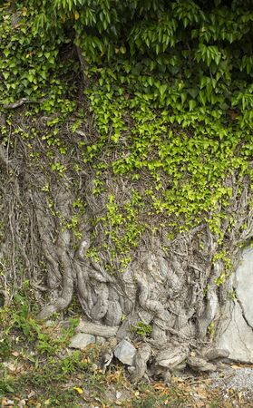 ivy wall: Big and tough ivy on a stone wall. Stock Photo