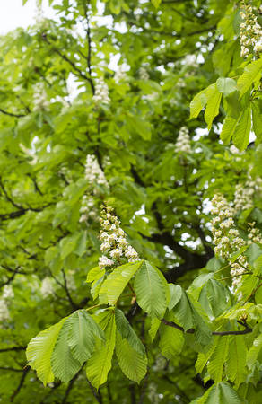 horse chestnut': horse chestnut blooming in a park.