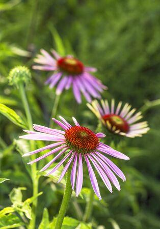 medical plant: Medical plant echinacea purpurea close up. Stock Photo