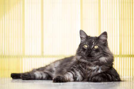 long: Posing cat with silver, long hair.