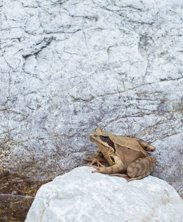 croaking: Frog on a rock, waiting for a fly to come by. Stock Photo