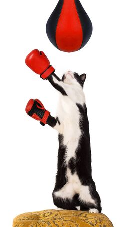 unsatisfied: Domestic cat on a chair wearing boxing gloves.
