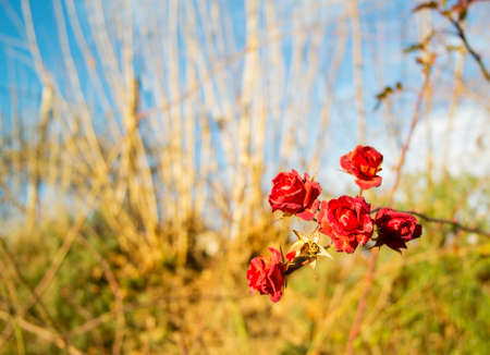 sun drenched: Nature background  with red rose in front Stock Photo