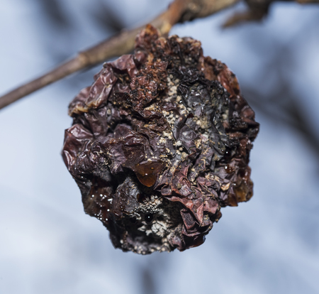 Rotten apple, still attached to a tree branch. Stock Photo
