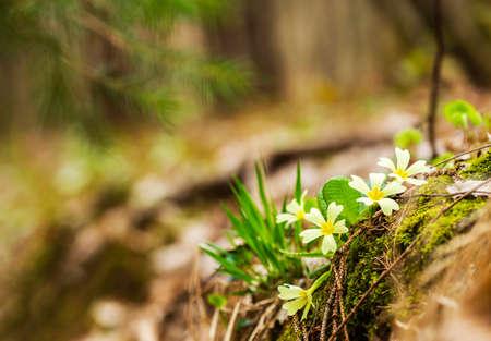 primroses: Beautiful wild primroses in the forest. Stock Photo