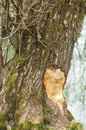 gnaw: Damaged tree by a beaver.