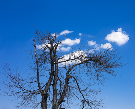 oxygene: Old tree with drying branches with some clouds behind. Stock Photo