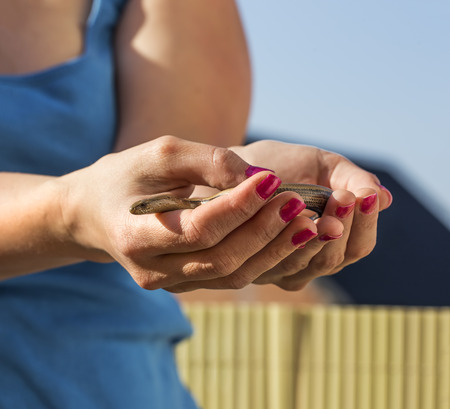 Womans Hands are holding anguis fragilis. Stock Photo