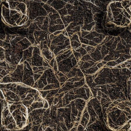 raices de plantas: Planta está creciendo algunas raíces en el suelo.