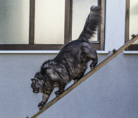 Domestic cat is heading down on a wooden plank. 免版税图像