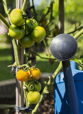raising cans: Tomatoes with plastic watering can in the backyard garden.