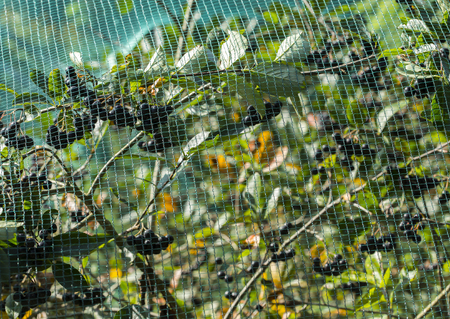 protected plant: Protected chokeberry plant with a plastic net. Stock Photo