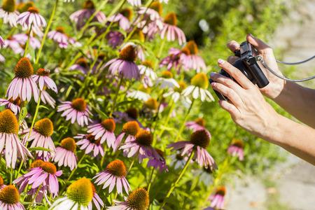 documenting: Female photographing ehinacea purpurea with a camera.