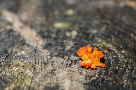 convoluted: Small Tremella aurantia growing on a tree stump.