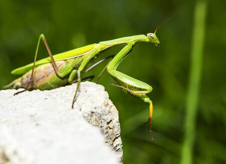 Mantis religiosa posing on a wall, and looking at something. Stock Photo