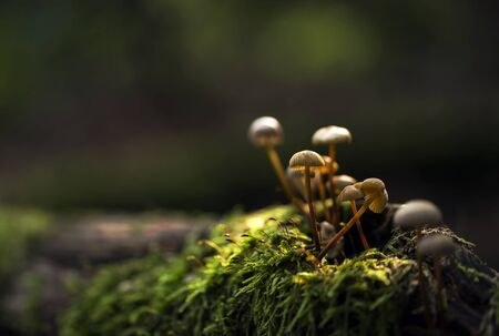 Small mushrooms growing on a moss lit by sun