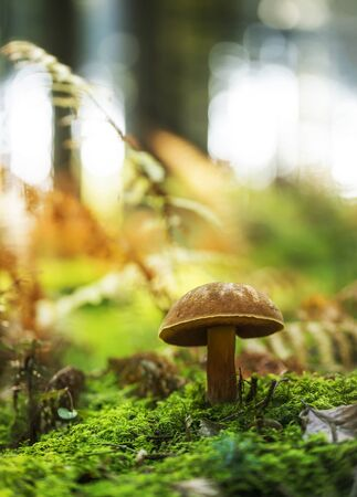 Boletus erythropus growing in the forest ground. Stock Photo