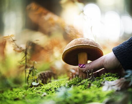 Hand is picking a  boletus erythropus, growing in the forest. Stok Fotoğraf