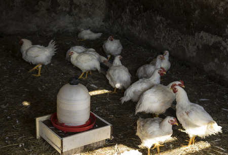 Many small chickens near a chicken feeder being raised for meat. Stok Fotoğraf