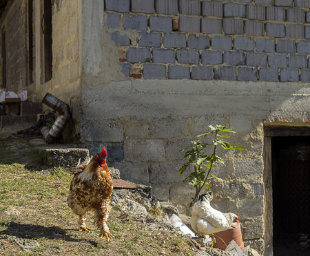 Chickens are running outside on a grass and are heading somewhere.