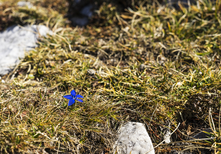 Small spring gentian flower growing on a mountain. Stok Fotoğraf
