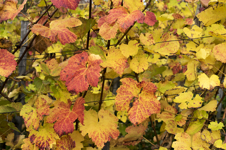 Colorful vineyard leaves in autumn season. Stok Fotoğraf