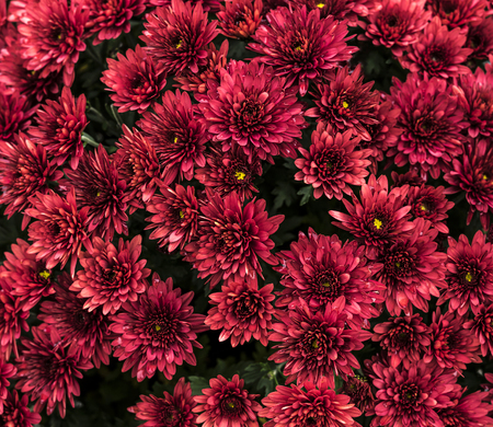 Group of beautiful red flowers close up.