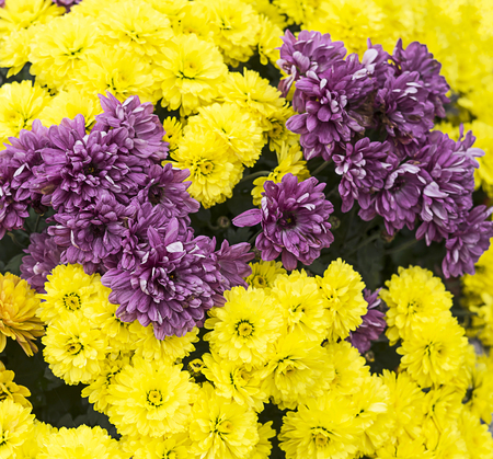 Group of yellow and purple flowers close up.