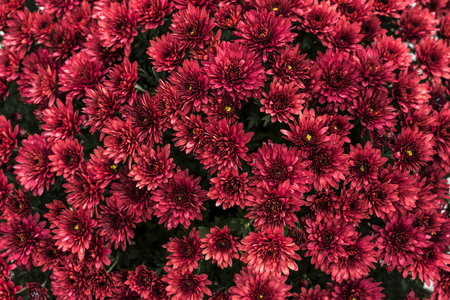 Group of beautiful red flowers close up. Stok Fotoğraf - 120368418