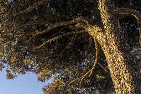 Pinus halepensis tree from under perspective in sunrise.