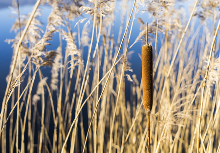 Swamp canes Water Reed Plant Cattails.