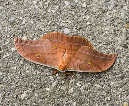 Antheraea yamamai butterfly known as the Japanese silk moth. 版權商用圖片