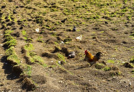 Group of chickens are looking for food, probably worms. 版權商用圖片