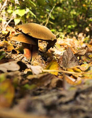 Two boletus growing together in the forest ground. 版權商用圖片