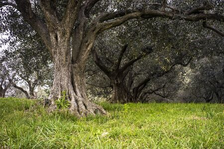 Very old olive tree located in mediterranean region.