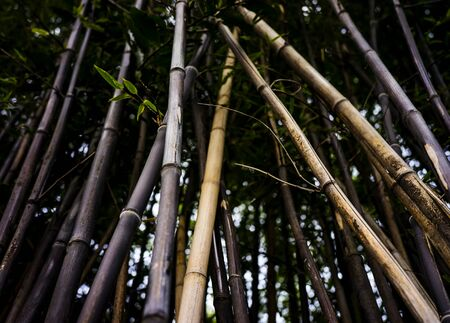 View under the group of bamboo trees