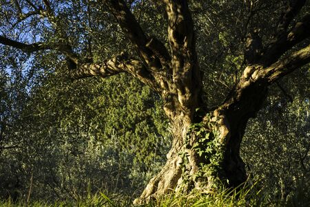 Very old olive tree located in Slovenia