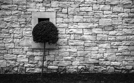 Lonley tree  is growing near a wall.