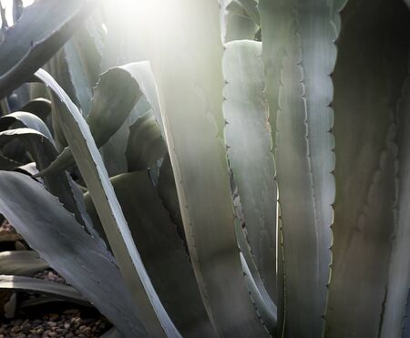 Giant aloe vera plant growing outdoor. Stok Fotoğraf