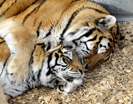 tigers laying in each others arms