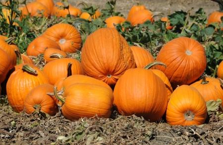Pumpkins Stock Photo - 22635651