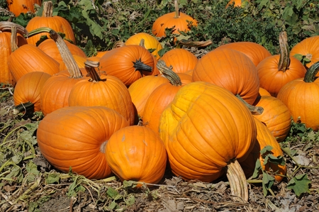 Pumpkins galore Stock Photo - 22635655