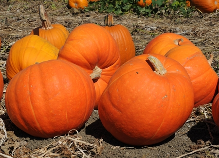 Giant Pumpkins Stock Photo - 23098919