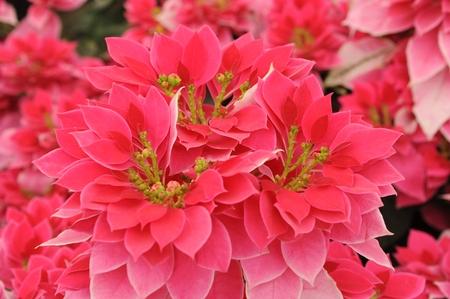 Pink Pointsettia Stock Photo