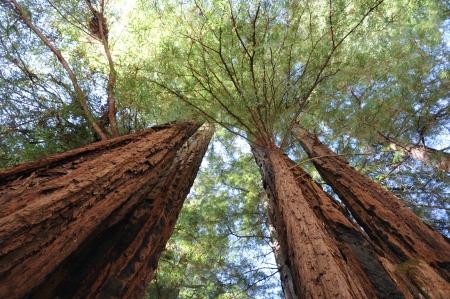 Redwood Park Stock Photo