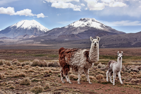 A bably llama and its mother look into the lens with a mountain in the background on the Bolivian Altiplano