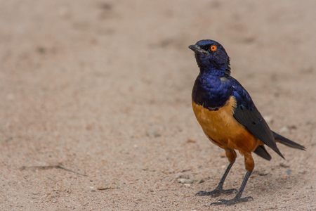 A colorful Superb Starling in Tanzanias Ngorongoro Crater