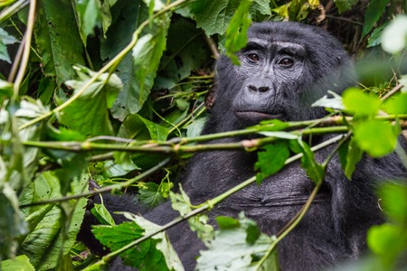 A pensive gorilla relaxes in a the thick jungle in Uganda