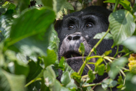 An angelic gorilla looks heavenward in the impenatrable forrest of Uganda